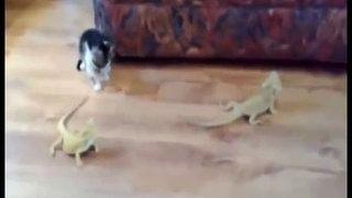 Bukalemun gören yavru kedi korkudan takla attı