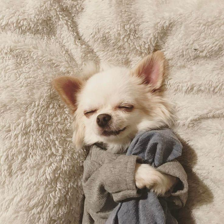 いいね!4,159件、コメント78件 ― Haloさん(@halo.halo.halo)のInstagramアカウント: 「Halo☆おやすみ ⋆︎ #お肉の夢みれるといいね #いちごもいいな #おなか冷やさないように #おやすみ #gn #愛おしい #チワワ #ちわわ #ワンコ #チワワ部 #愛犬 #chihuahua…」
