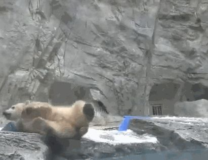 "Polar Bear Cub: ""Mom! I've Fallen in! Help!"" (Mom rushes to help immediately.)"