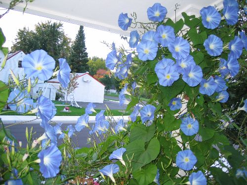"""Heavenly Blue"" Morning Glory Vine"