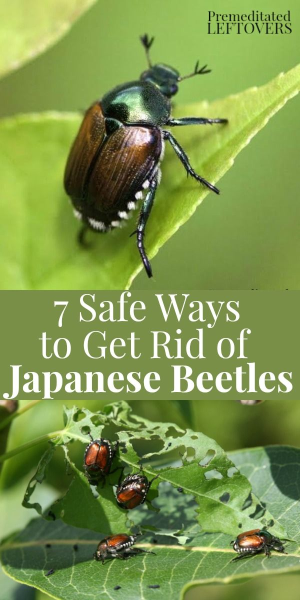 Want to repel Japanese Beetles? Try these 7 Safe Ways to Get Rid of Japanese Beetles in the Garden to prevent the beetles from eating your plants and trees. Organic gardening tips to protect your plants and deter Japanese beetles from living in your yard.