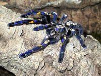 Poecilotheria metallica is a species of tarantula,