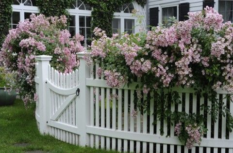 Tiny roses on a white picket fence.: Ballerina Roses, Rose Rosa, Picket Fence, Climbing Roses, Outdoor, Gardens, Musk Roses