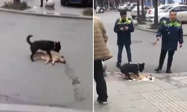 Loyal dog tries to wake up dead friend on a busy road