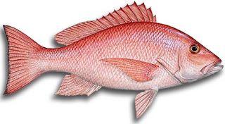 cara mancing ikan kakap merah,cara memancing ikan kakap,Ikan Kakap Merah,rahasia umpan,resep umpan,Teknik Mancing Ikan Kakap Merah,Tips Trik Mancing Ikan Kakap jitu,umpan pancing ikan kakap merah,