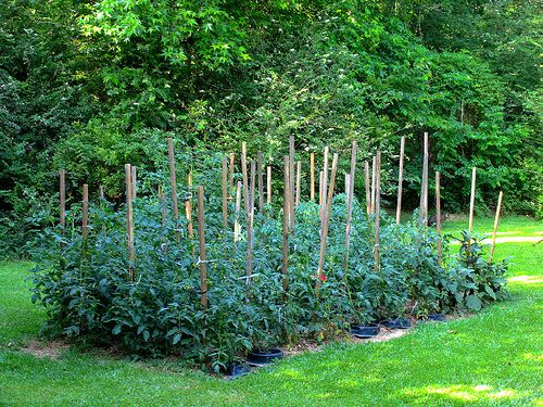 I Will Have A Tomato Garden Too Because I Love Them So Much, And Homegrown
