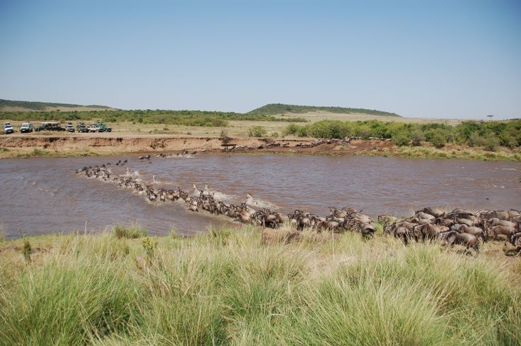 Seguendo la stagione delle piogge gli gnu, provenienti dal Serengeti (Tanzania) fanno il loro ingresso nella riserva Mara alla ricerca di pascoli erbosi. L'evento, è uno dei fenomeni più spettacolari della natura. Il passaggio dell'imponente branco, accompagnato da zebre e animali predatori (i Big Five) che approfittano di ogni occasione per cacciarli: è un'occasione unica per intraprendere safari fotografici.
