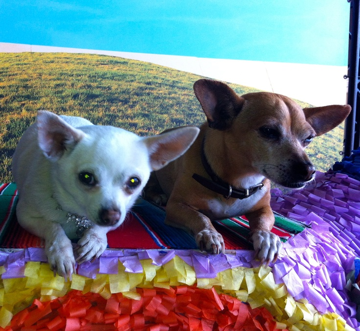 beverly chihuahua 16 best beverly hills chihuahua 3 images on pinterest 5017
