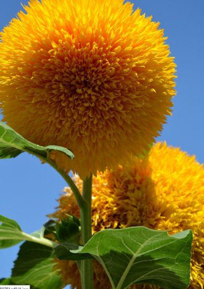 Teddy Bear Sunflowers - A Cuddly Giant Flower -