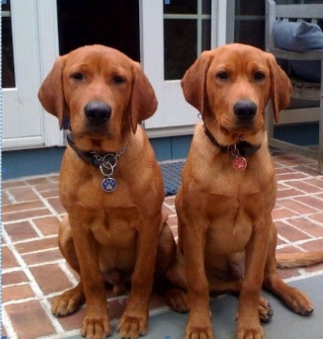 Red fox Labrador retrievers