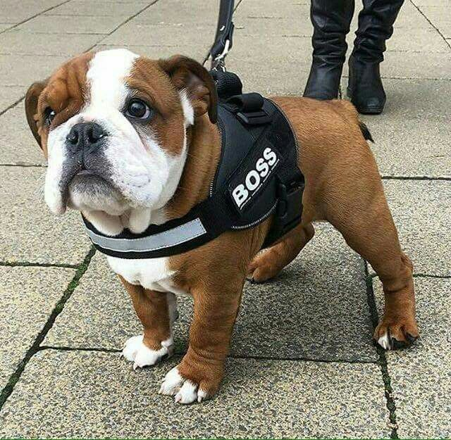 Bulldog Pup Boss Man Bulldog Puppies Bulldog Bulldog Dog