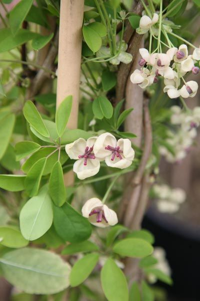 Akebia quinata cream-flowered - The mid green leaves of this semi-evergreen climber are tinged with purple in winter, and emerge flushed with bronze in spring. It makes an ideal backdrop for the scented, cream coloured flowers. This unusual semi-evergreen climber is excellent for training against walls or up a pergola, and in a warm summer, large sausage-shaped fruit may form.
