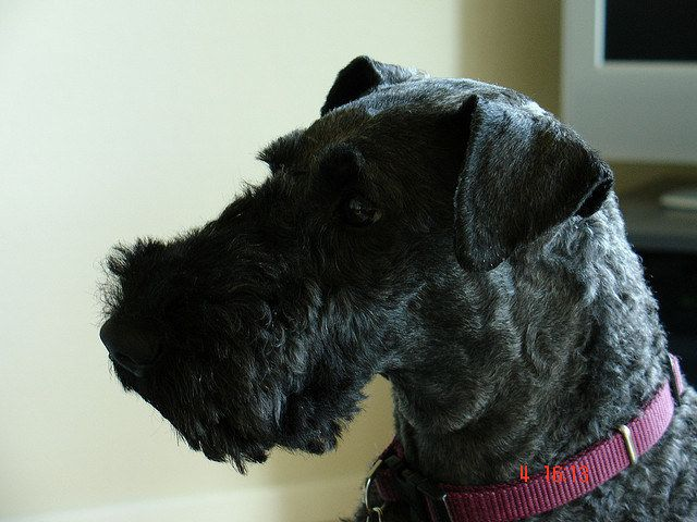 The Definitive Ranking Of Dog Breeds Dog Breeds Kerry Blue Terrier Dogs