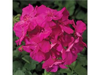 Calliope Laventeli Rose Pelargonium kauniita kukkia!