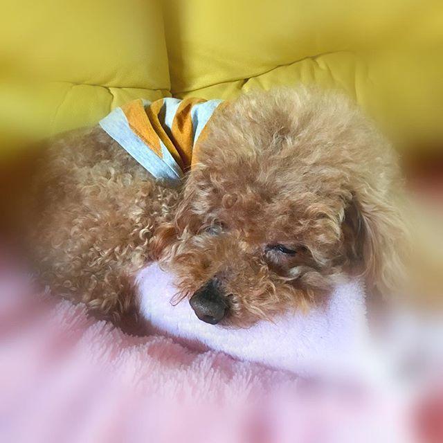 ・ 2017.3.7 ・ たまには💕ラブリーな寝顔を :*(〃∇︎〃人)*:・━︎!!!! ・ おはようございます あさんぽ終わって 姉さんのモコモコパジャマを 枕に モコモコな彼が 二度寝中💤💤 ・ ・ 今日は寒の戻りですね 寒いけど ホットな一日になりますよーに😊 #toypoodlegram#dog #cute #toypoodle#chip#todaydog  #といぷー#トイプードル大好き#トイプードル#寝顔#癒し#愛犬#犬のいる暮らし#二度寝中#チップ#ふわもこ部#うちの子がいちばん可愛い