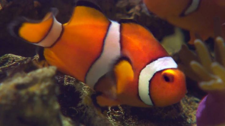 Nemo Is A Hermaphrodite - Smarter Every Day 115  Scitech -5022