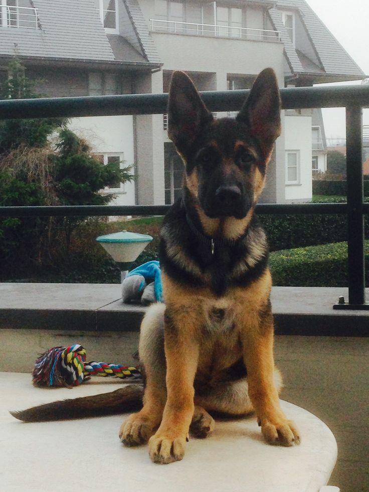 254 best sheperd dogs images on Pinterest | German ...