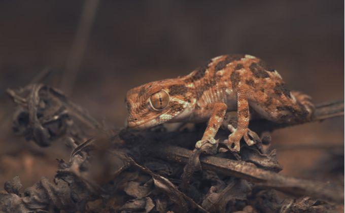 かわいいヤモリ ヘルメットゲッコーの生態と飼育方法を紹介 繁殖方法やおすすめの餌は Woriver ヤモリ ヤモリ かわいい 両生類