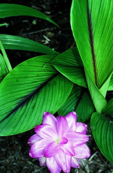 Curcuma zedoaria Bicolor Wonder