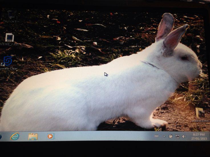Stewie show'n off Beautiful boy NZ white rabbit