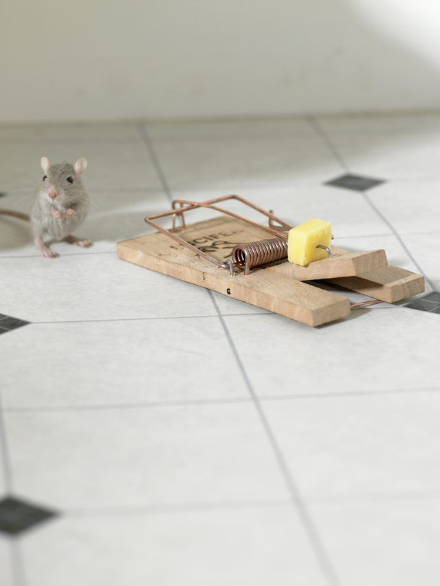 How To Get Rid Of Mice Forever Getting Rid Of Mice Mouse Traps