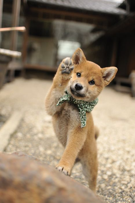 Shiba inu my dream pup