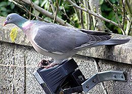 Common Wood Pigeon (Ringdue)(Columba palembus)