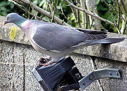 Common Wood Pigeon (Ringdue)(Columba palembus)