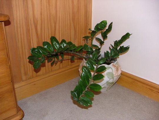 Zamioculcas zamiifolia chinese good fortune plant house plants pinterest photos plants - Good house plant ...