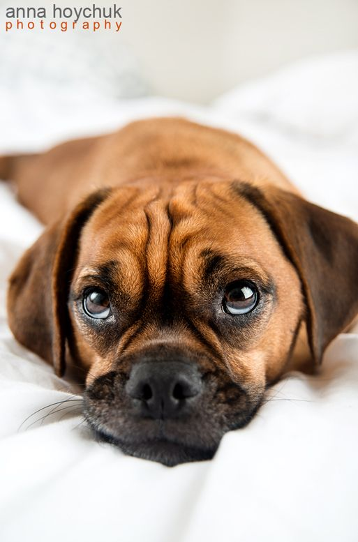 Cute Puggle Dog #puggle | Lifestyle | Pinterest