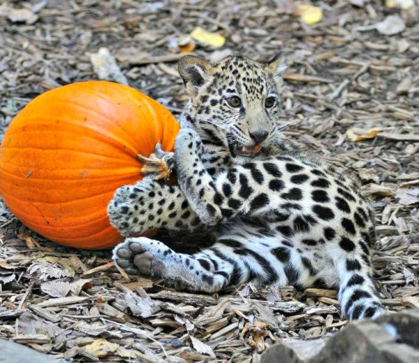 Babette the baby Jaguar attacks pumpkins at the Tulsa Zoo - see more photos and video at ZooBorns.com and at http://www.zooborns.com/zooborns/2016/11/baby-jaguar-attacks-pumpkins.html