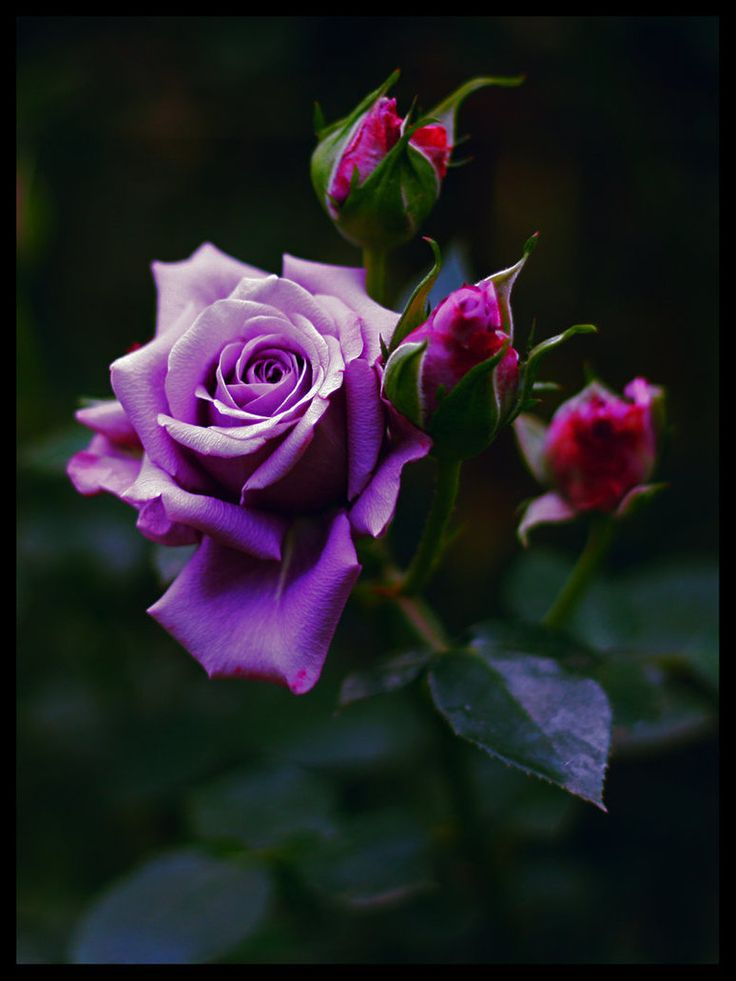 23 best images about PURPLE ROSE on Pinterest | Barbra ...  One