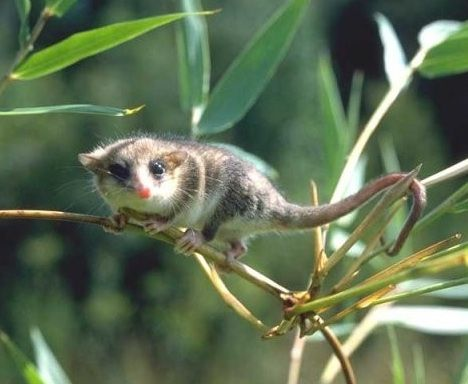 The monito del monte can store enough fat in its tail to make it double in size. This allows them to go long periods without food. Unfortunately, they are endangered.