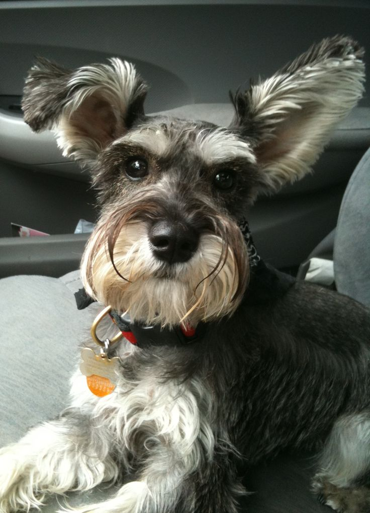 226 best images about Miniature Schnauzers on Pinterest