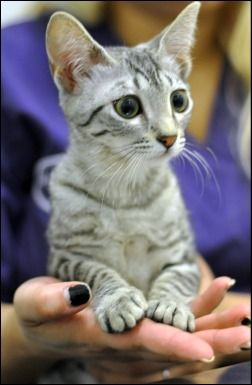 Egyptian Mau kittens!  I probably would not want to pay what one would cost, but how gorgeous is this baby???