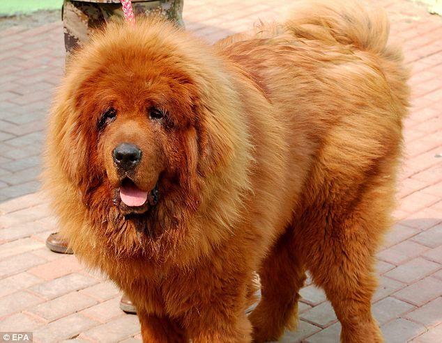 tibetan-mastiff