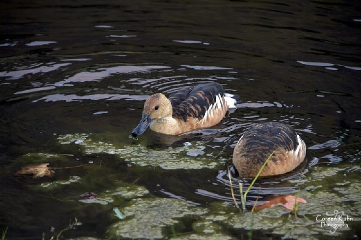 Whistling duck by CoreenKuhnPhotography