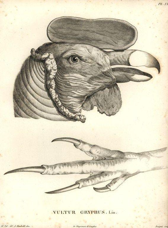 Andean condor (Vultur gryphus) - from Alexander v. Humboldt's 'Beobachtungen aus der Zoologie und Vergleichenden Anatomie' - 1806 via Wikipedia