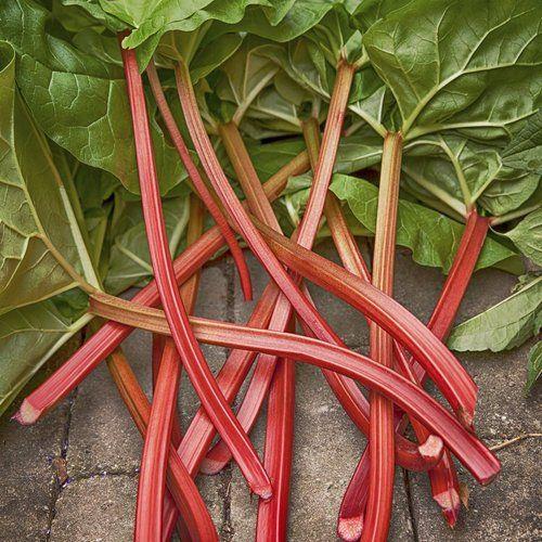 Rhubarbe : planter et cultiver – ComprendreChoisir