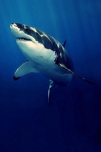 Gorgeous! ~ #GreatWhiteShark #Sharks