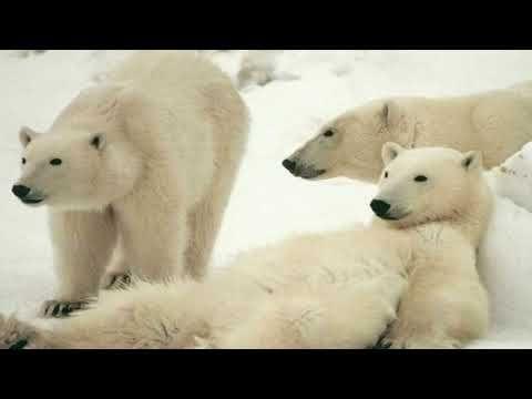 Polar bear - A carnivorous Bear