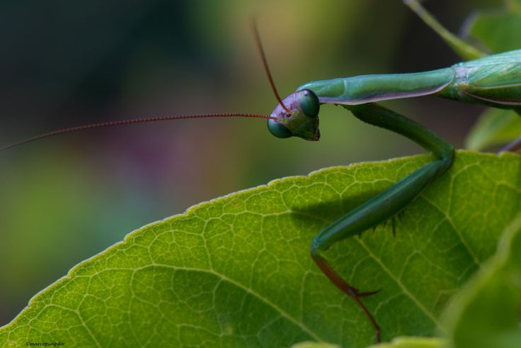 A colourful praying mantis.