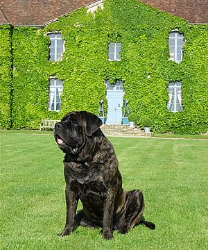 Beautiful brindle mastiff.