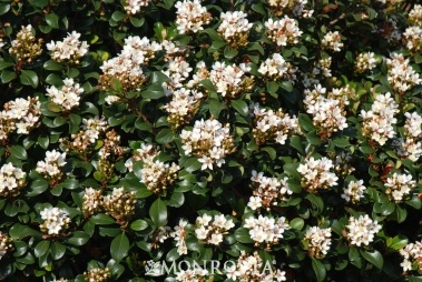 10 Best Images About Evergreen Hedges And Shrubs On