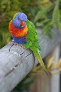 Rainbow Lorikeet on fence - Photographers: K Vang and W Dabrowka © Bird…
