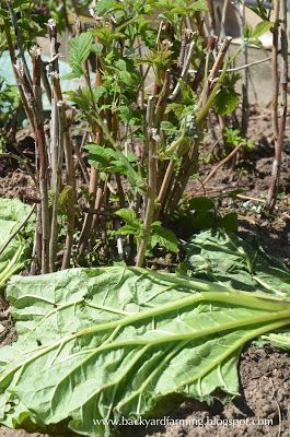 Use rhubarb leaves to mulch around plants, such as these raspberries.