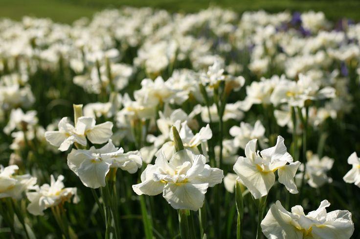 Gros plan des iris blancs de nos Jardins