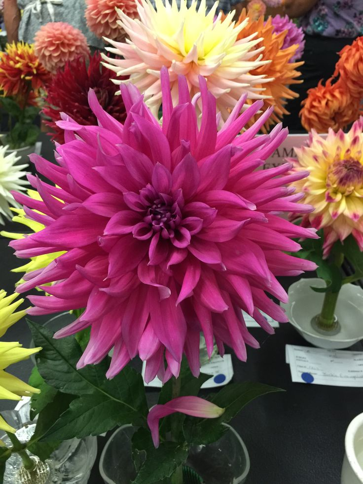 Hollyhill Pink Cadilac (With images) Plants, Pink, Dahlia