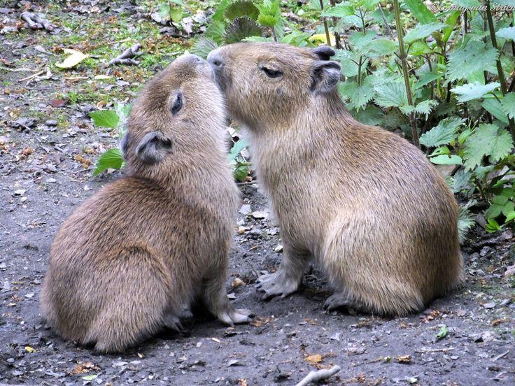 Capibara babies | Flickr - Photo Sharing!
