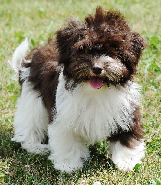 Great Chocolate Brown Adorable Dog - eb49112a17dc1523a483e54276de4090--havanese-puppies-havanese-grooming  2018_386739  .jpg